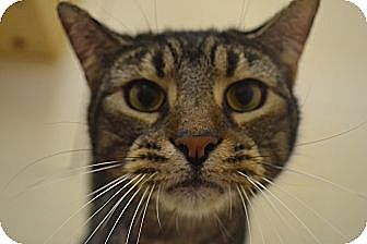 Domestic Shorthair Cat for adoption in Long Beach, New York - Junior Boy