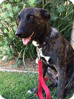Belgian Malinois Mix Dog for adoption in El Cajon, California - TIGER