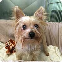 Adopt A Pet :: Eli - New York, NY