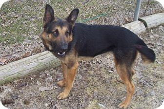 German Shepherd Dog Dog for adoption in Oberlin, Ohio - Scout