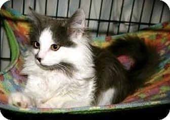 Maine Coon Kitten for adoption in Oakland, California - Briar & Stitch