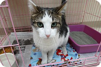 Domestic Shorthair Cat for adoption in Elyria, Ohio - Fraiser
