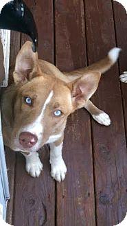 Husky Mix Puppy for adoption in North Haledon, New Jersey - Elena
