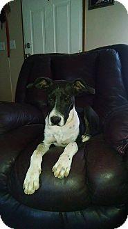 Great Dane/Pointer Mix Puppy for adoption in Seguin, Texas - Kane