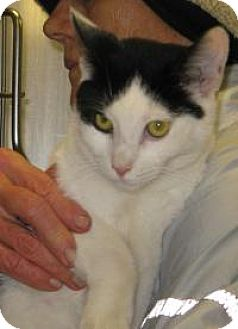Domestic Shorthair Cat for adoption in Mineral, Virginia - Bo C63