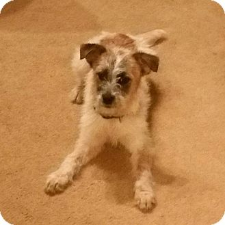 Cattle Dog/Terrier (Unknown Type, Small) Mix Puppy for adoption in Gustine, California - NUTMEG