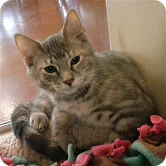 Domestic Shorthair Cat for adoption in Sedona, Arizona - Ella