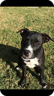 Bulldog/Boxer Mix Puppy for adoption in Nashville, Tennessee - CAMPBELL
