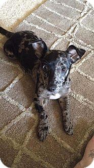 Dachshund/Catahoula Leopard Dog Mix Dog for adoption in Williamsburg, Virginia - OTTIS