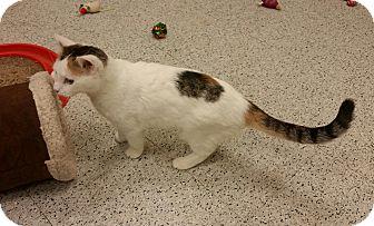 Turkish Van Kitten for adoption in Phoenix, Arizona - Penny
