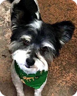 Shih Tzu/Schnauzer (Miniature) Mix Dog for adoption in Tijeras, New Mexico - Sammy