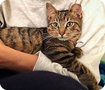 Domestic Shorthair Cat for adoption in Brooklyn, New York - Grover