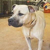 Black Mouth Cur Mix Dog for adoption in Blue Ridge, Georgia - Nala
