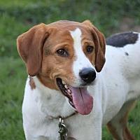 Foxhound/Hound (Unknown Type) Mix Dog for adoption in Shakopee, Minnesota - Jessie D3303