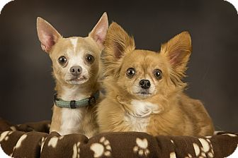 Chihuahua Dog for adoption in Anchorage, Alaska - Bowser