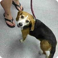 Adopt A Pet :: BECKY - Louisville, KY