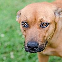 Adopt A Pet :: Darla - Charlotte, NC