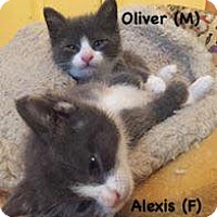 Domestic Shorthair Kitten for adoption in West Orange, New Jersey - Alexis