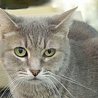 Domestic Shorthair Cat for adoption in Pineville, North Carolina - Pia