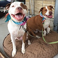 American Staffordshire Terrier Mix Dog for adoption in Ojai, California - Dreamer and Papa