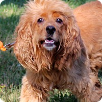 Cocker Spaniel/King Charles Spaniel Mix Dog for adoption in Southbury, Connecticut - Luke~adopted!