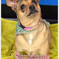 Adopt A Pet :: Sampson - Va Beach, VA