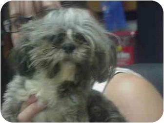 Shih Tzu Dog for adoption in Manassas, Virginia - Merlin