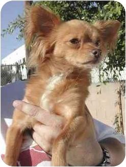 Chihuahua Dog for adoption in Rolling Hills Estates, California - Akira