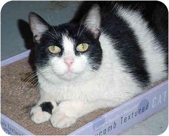 Polydactyl/Hemingway Cat for adoption in Quail Valley, California - Lay C