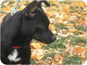 Chihuahua Mix Dog for adoption in Okotoks, Alberta - Munchkin