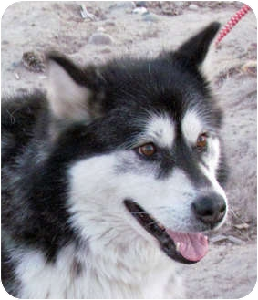 Alaskan Malamute Dog for adoption in Boise, Idaho - MAGGIE