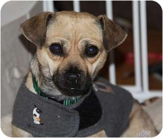 Pug/Chihuahua Mix Dog for adoption in Seattle, Washington - Colby