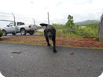 Labrador Retriever Dog for adoption in Crumpler, North Carolina - Noah