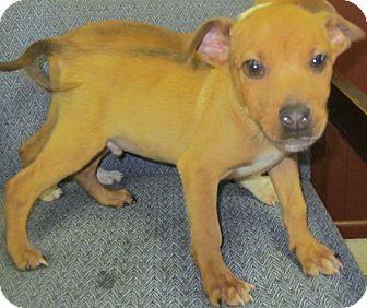 Boxer/Labrador Retriever Mix Puppy for adoption in Detroit, Michigan - Dudley