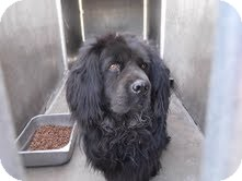 Chow Chow/Cocker Spaniel Mix Dog for adoption in Marina del Rey, California - Chowski