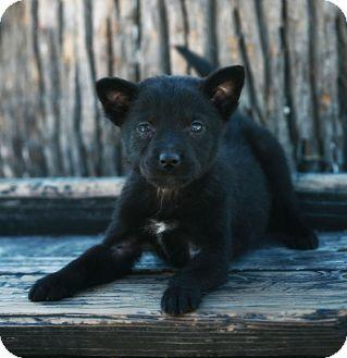 Schipperke Mix Puppy for adoption in Pasadena, California - ATHENA