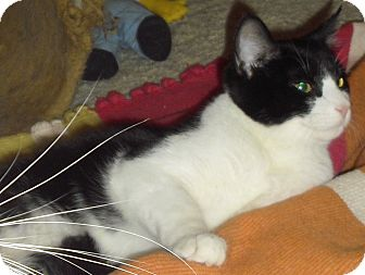 Domestic Shorthair Kitten for adoption in Fairborn, Ohio - Mr. Meowgi