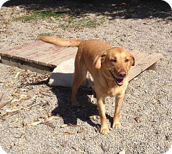 Labrador Retriever Mix Dog for adoption in Gustine, California - BEN