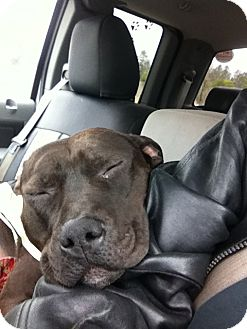Pit Bull Terrier Mix Dog for adoption in Spring Valley, New York - Dozier