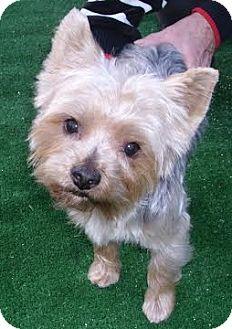 Yorkie, Yorkshire Terrier Puppy for adoption in Orange, California - Miles