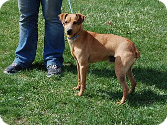 Miniature Pinscher Mix Dog for adoption in North Judson, Indiana - Baron
