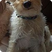 Adopt A Pet :: Coco - Vaudreuil-Dorion, QC