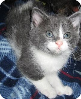 Domestic Shorthair Kitten for adoption in Des Moines, Iowa - Zola