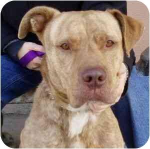 American Pit Bull Terrier Mix Dog for adoption in Berkeley, California - Rubio