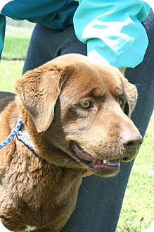 Labrador Retriever Mix Dog for adoption in East Hartford, Connecticut - Ben in CT