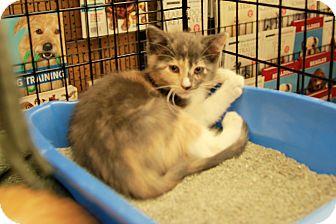 Domestic Shorthair Kitten for adoption in Rochester, Minnesota - Juliet