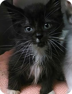 Domestic Shorthair Kitten for adoption in New York, New York - Chinchilla tuxedo(Flushing)
