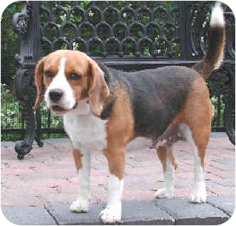 Beagle Dog for adoption in Palm Bay, Florida - Fiona
