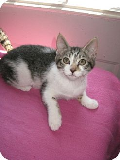 Domestic Shorthair Cat for adoption in Bloomsburg, Pennsylvania - Dezi