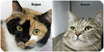 Calico Cat for adoption in Forked River, New Jersey - Rogue & Storm